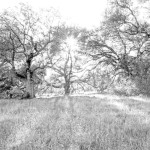 Ethereal Oak BW