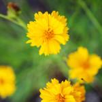 Arizona Wild Flowers